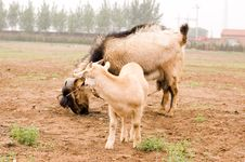 Free Milch Goat Royalty Free Stock Photo - 5484615