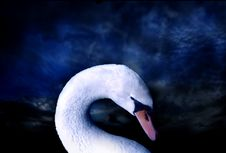 Free Swan Stock Images - 5484764