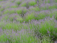 Free Rows Of Lavender Stock Image - 5485011