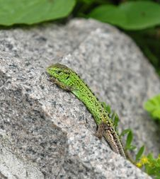 Green Lizard On The Stone Stock Photo