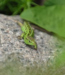 Free Green Lizard On The Stone Stock Photo - 5485080