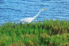 Free Egret In Green Marsh Stock Image - 5485501