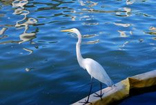 Free Great White Heron Stock Image - 5486001