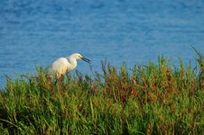 Free Egret With Fish In Mouth Royalty Free Stock Photography - 5486037