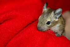 Degu On The Red Background Stock Images