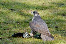 Free Saker Falcon Royalty Free Stock Photo - 5486685
