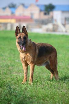 Free Germany Sheepdog Royalty Free Stock Images - 5486689