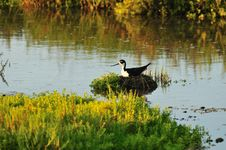 Free Nesting In The Wetlands Stock Photo - 5486740