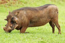 Free Kneeling Warthog Royalty Free Stock Images - 5486789