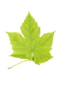 Free Vine Leaf Stock Photography - 5486842