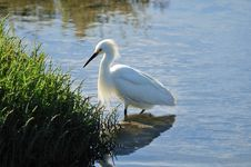 Free Egret On The Hunt Stock Photography - 5487032