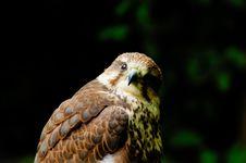 Free Prairie Falcon Royalty Free Stock Image - 5487096