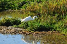 Free Egret Searching For Fish Stock Photos - 5487173