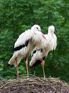 Couple Of Storks In The Nest Royalty Free Stock Photography