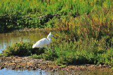 Free Egret Fishing In Wetland Stock Photo - 5487350
