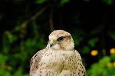 Free Prairie Falcon Stock Image - 5487441