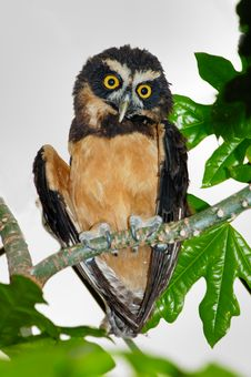 Free Spectacled Owl Royalty Free Stock Image - 5487496