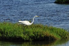 Free Egret Fishing Royalty Free Stock Image - 5487526