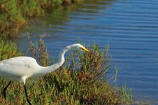 Free Egret Close Up Stock Photography - 5487612