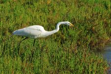 Free Fishing Egret Stock Image - 5487661
