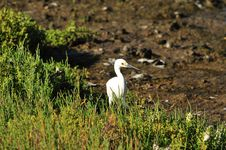 Free Egret In Grass Royalty Free Stock Image - 5487756