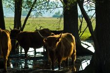Free Highland Cattle Royalty Free Stock Photos - 5488028