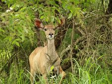 Free Kudu Royalty Free Stock Image - 5488286
