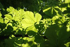 Chestnut Tree Leaves Stock Photo