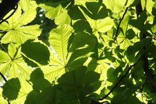 Free Chestnut Tree Leaves Royalty Free Stock Photos - 5488538