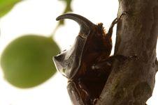 Free Rhinoceros Beetle Stock Images - 5488964