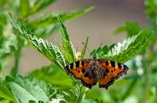 Free Butterfly Resting On Leaves Stock Photography - 5488982