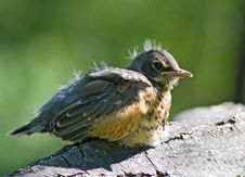 Free Nestling Of Robin Royalty Free Stock Images - 5489029