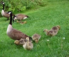 Free Geese And Babies Stock Photo - 5489770