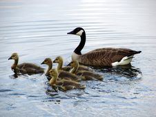 Goose And Babies Royalty Free Stock Photo