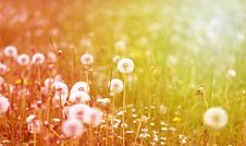 Free Beautiful Flowers  Dandelions Royalty Free Stock Photography - 54817927
