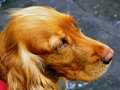 Free Cocker Dog Stock Photography - 5490172