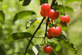 Free Fresh Cherry Royalty Free Stock Images - 5493259