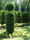 Free Green Tree Royalty Free Stock Photography - 5493397