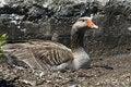 Free Goose On Nest Stock Photo - 5493920