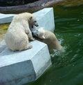 Free Polar Bears (Ursus Maritimus) Stock Photography - 5495722