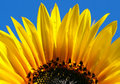 Free Close Up Shot Of Bright Sunflower With Dew Drops Royalty Free Stock Image - 5496116