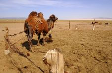 Free Camels In The Gobi Desert, Mongolia Stock Photography - 5490712