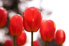 Free Tulip Stock Image - 5490991