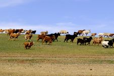 Free Herd Of Running Goats And Sheep In Mongolia Stock Images - 5491054