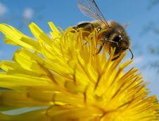 Bee On Flower3 Stock Photo