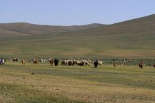Free Herd Of Cattle In Mongolia Royalty Free Stock Photo - 5491155