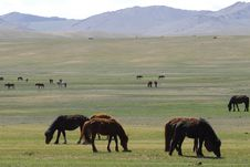Free Horses Grazing In Mongolia Stock Photos - 5491223