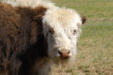 Free Yak In Mongolia Royalty Free Stock Photo - 5491225