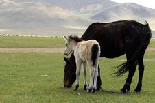 Free Horse And Foal Grazing In Mongolia Stock Photography - 5491462