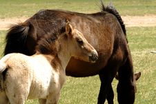 Free Horse And Foal Grazing In Mongolia Stock Photo - 5491470
